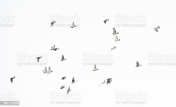 Flock of doves picture id185110228?b=1&k=6&m=185110228&s=612x612&h=4s6yx8wwkhmqy6mrq1jdngnlyqus 1paem0qh2j3mv0=