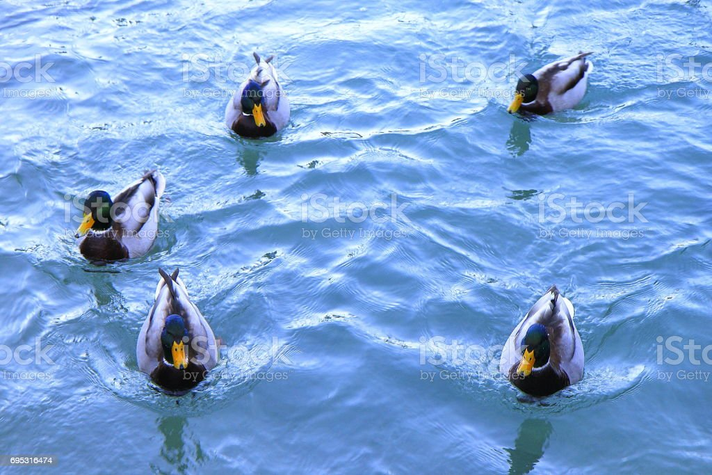 Flock of ducks floating on Beautiful lake Constance - Bodensee pond, Salzburger land, Austria stock photo