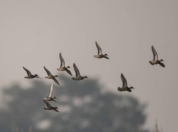 Flock of Ducks Flying stock photo