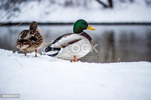 istock flock of ducks in the snow in winter in nature 943030470