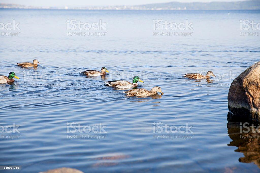 Flock of ducks on the lake stock photo