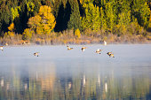 Ducks flying over Two Oceans Lake in the morning in Grand Teton National Park (Wyoming)