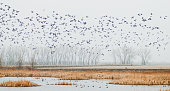 A flock of ducks take off over the pond in early spring in the midwest.