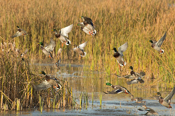 Flock of Ducks A flock of ducks flushing from a wetland drake male duck stock pictures, royalty-free photos & images
