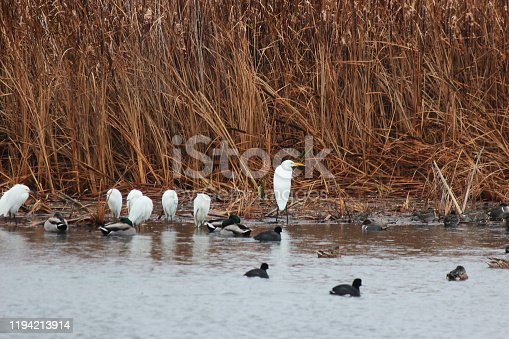 Egret birds group resting at wetland along with american coot birds