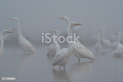 Flock of Egrets in misty morning