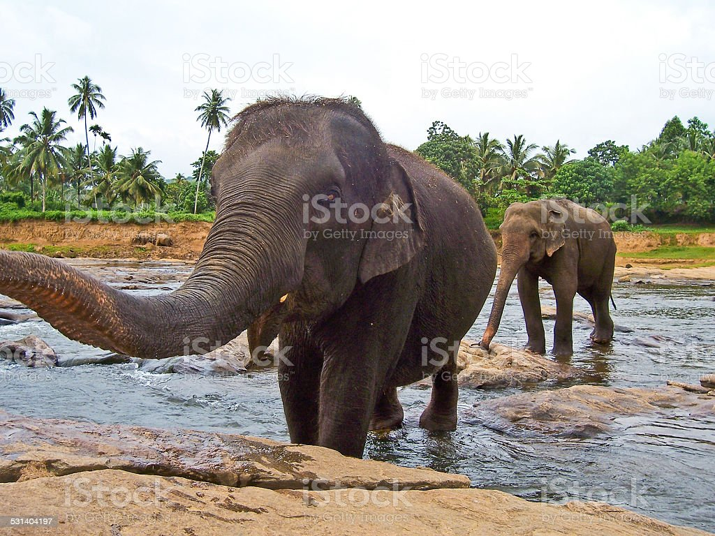 flock of elephants bathing in the river stock photo