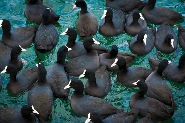 flock of European coots ( fulica atra ) in the gulf of Sevastopol in winter. Black Sea, Ukraine. flock of European coots ( fulica atra ) in the gulf of Sevastopol in winter, Black Sea, Ukraine. coot stock pictures, royalty-free photos & images