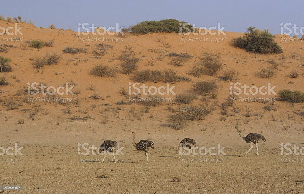 Flock of female ostriches moving along a sand dune royalty-free stock photo