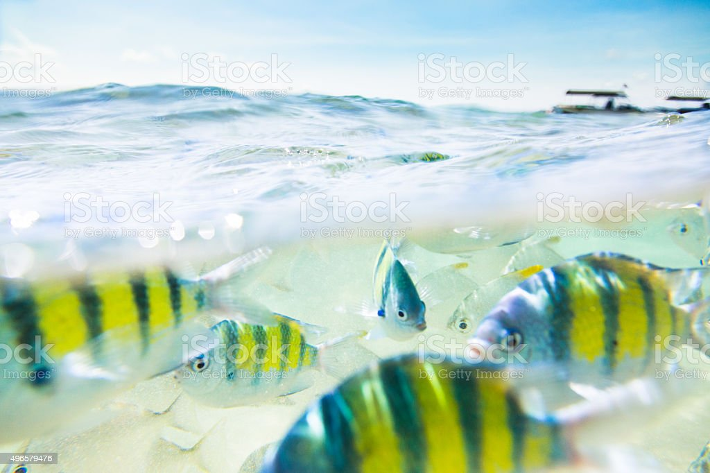 Flock of fish under and above water stock photo