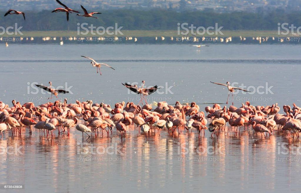 Flock of flamingos from Nakuru. Kenya, Africa royalty-free stock photo