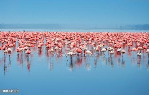 Flock of flamingos. Africa. Kenya. Lake Nakuru