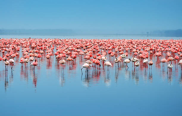 a flock of flamingos in the water - wildplassen stockfoto's en -beelden
