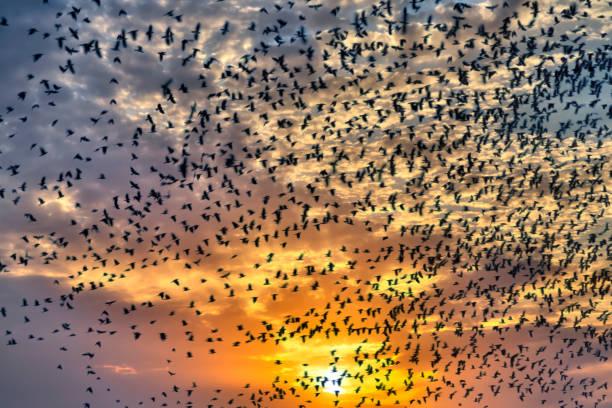 flock of flying birds in sunset stock photo