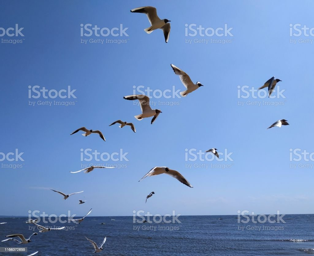 A flock of flying gulls, birds, against the background of water,...
