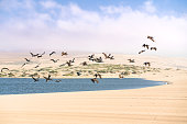 Flock of flying pelicans, sand dunes, and cloudy sky on background, California Coastline