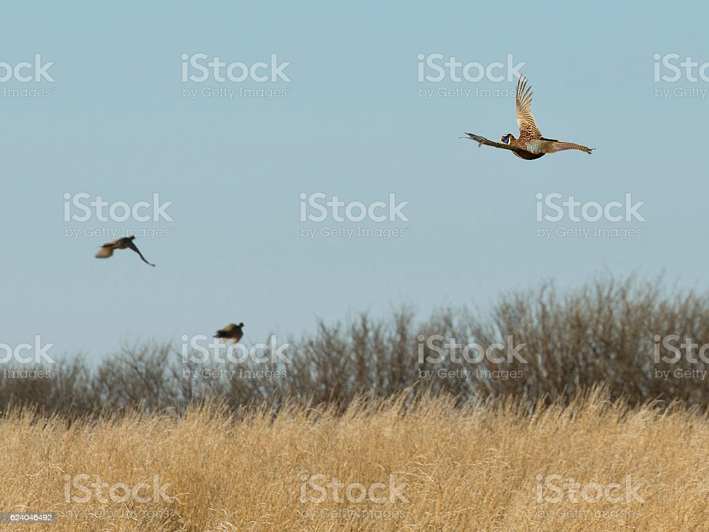 Flock of Flying Pheasants stock photo