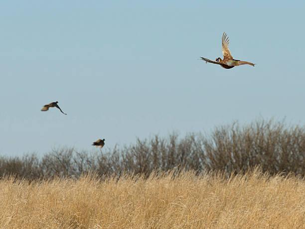 flock of flying pheasants - faisan gibier à plume photos et images de collection