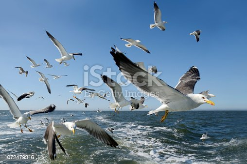 Flock of flying seagulls, looking at camera. German North Sea near Langeoog Island under clear blue sky. East Frisia, Lower Saxony, Germany, Europe.