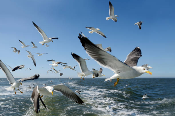 Flock of flying seagulls Flock of flying seagulls, looking at camera. German North Sea near Langeoog Island under clear blue sky. East Frisia, Lower Saxony, Germany, Europe. lower saxony stock pictures, royalty-free photos & images