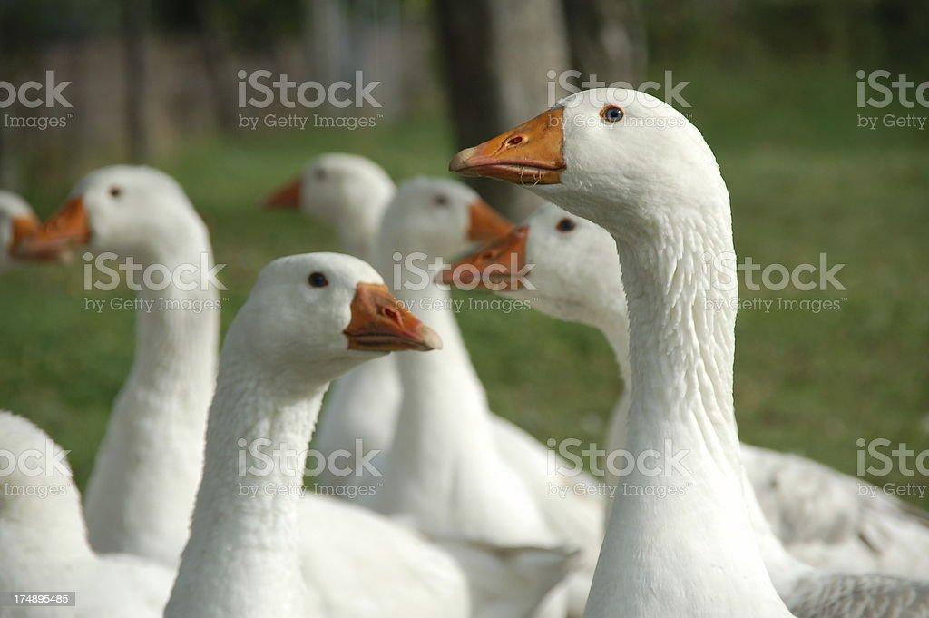 Flock of free range geese stock photo