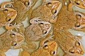 Flock of frogs.