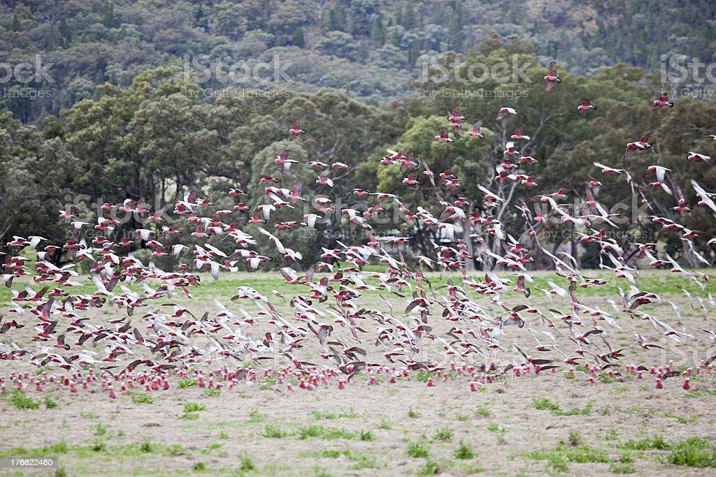 flock of galahs royalty-free stock photo