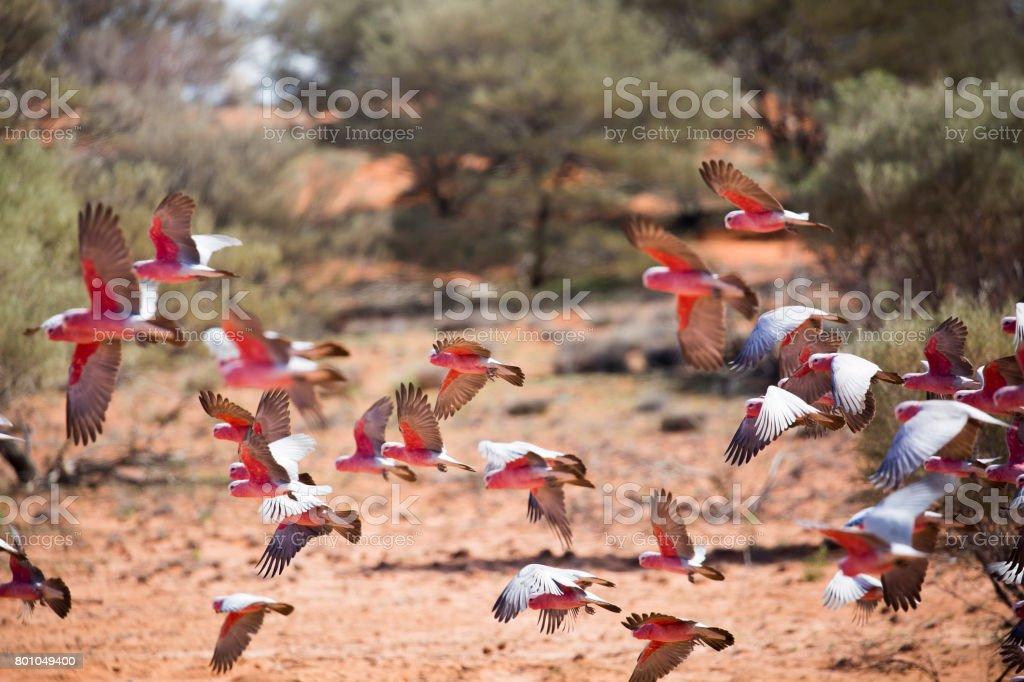 Flock of galahs. stock photo