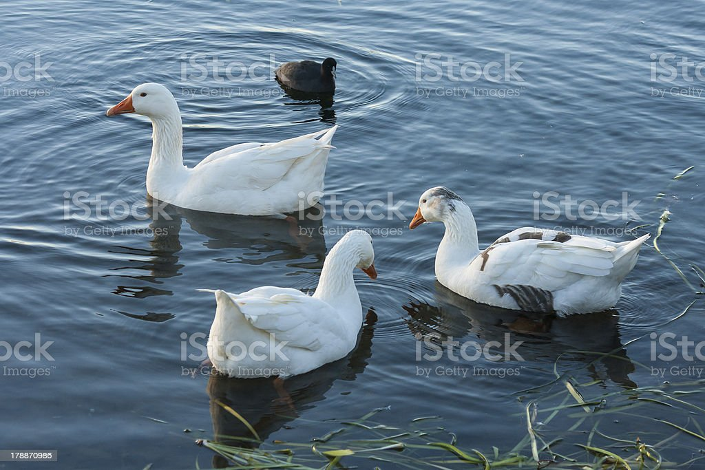 flock of geese and coot on lake surface royalty-free stock photo
