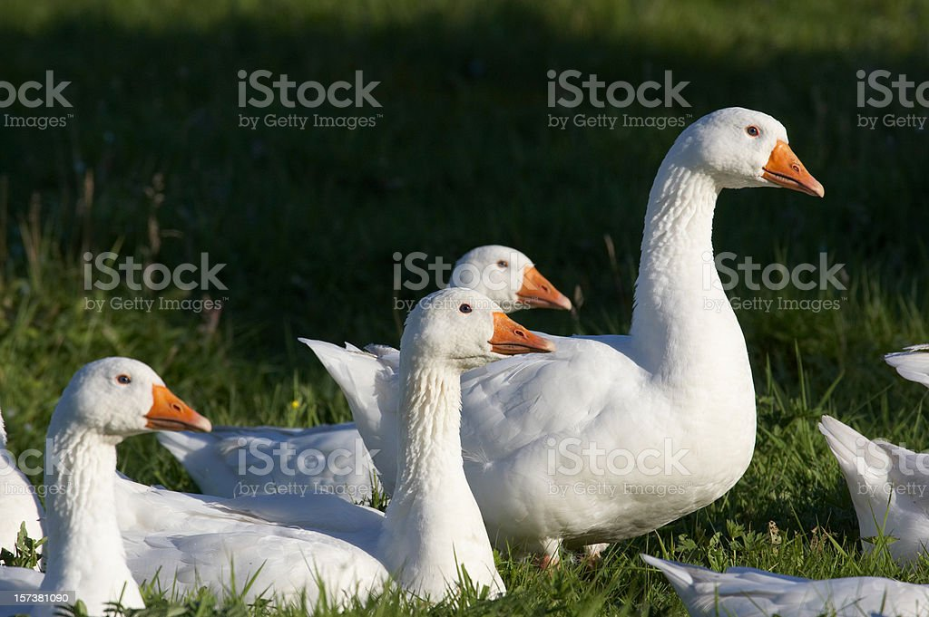 Flock of geese evening sunlight royalty-free stock photo