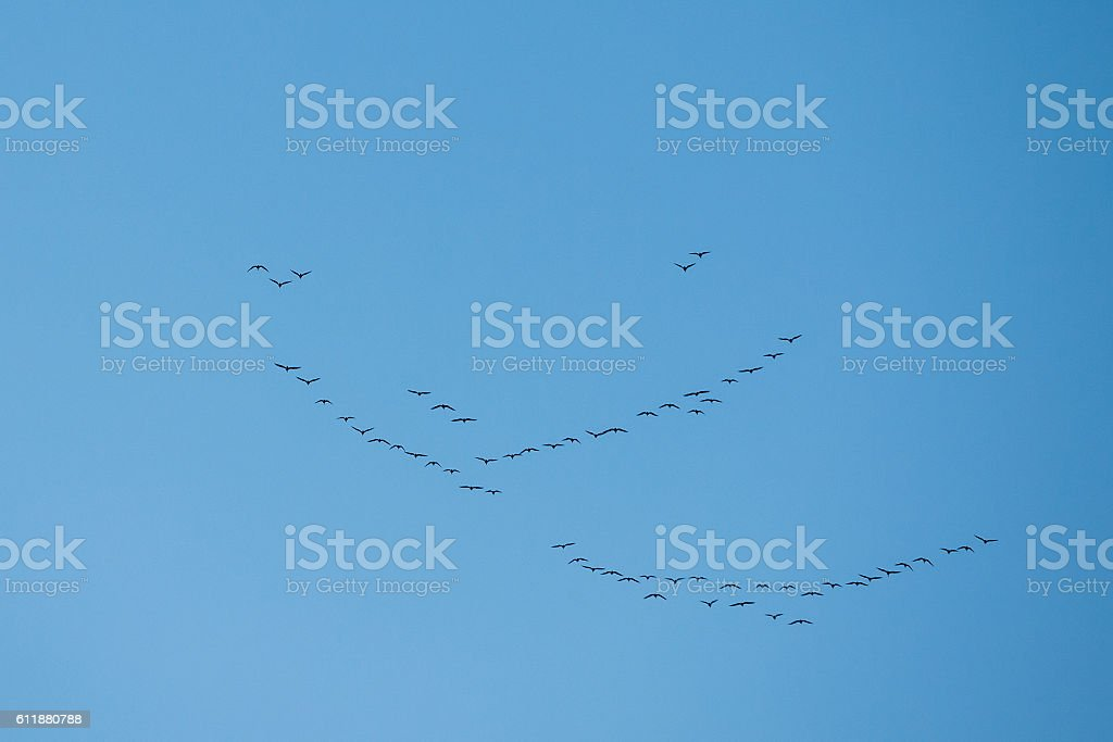 Flock Of Geese Flies In V-formation Flying In Sunny Blue Autumn or...
