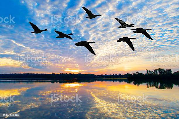 Flock of geese fly through breathtaking autumn sunrise picture id490747604?b=1&k=6&m=490747604&s=612x612&h=h6wpf9dztdudq9wacymp2qc7wgtsdl r2wqoahc5m9y=