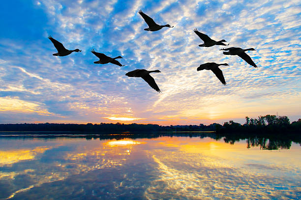 flock of geese fly through breathtaking autumn sunrise - wildplassen stockfoto's en -beelden