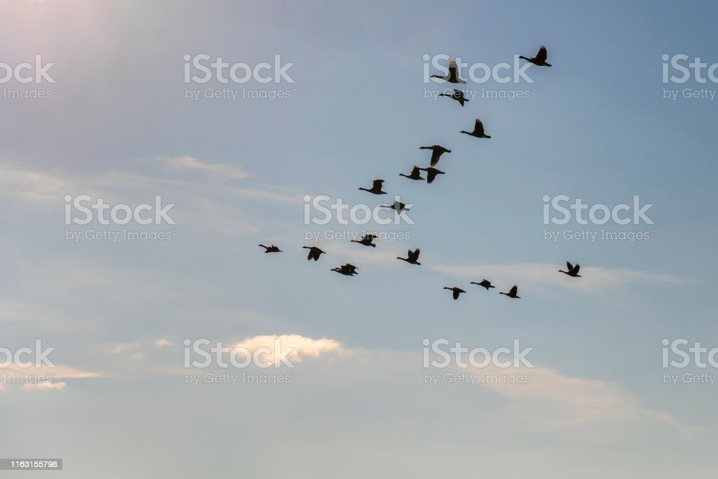 Flock of geese flying in the sky against the sun