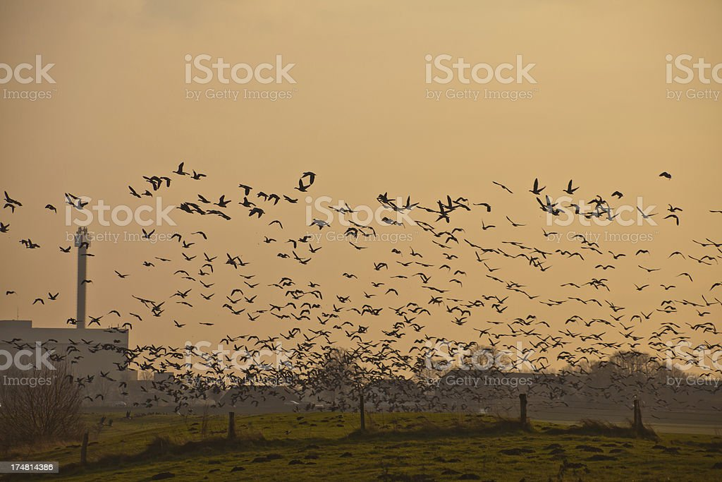 flock of geese flying royalty-free stock photo