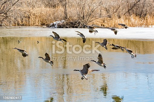 Flock of Canadian geese flying low over pond