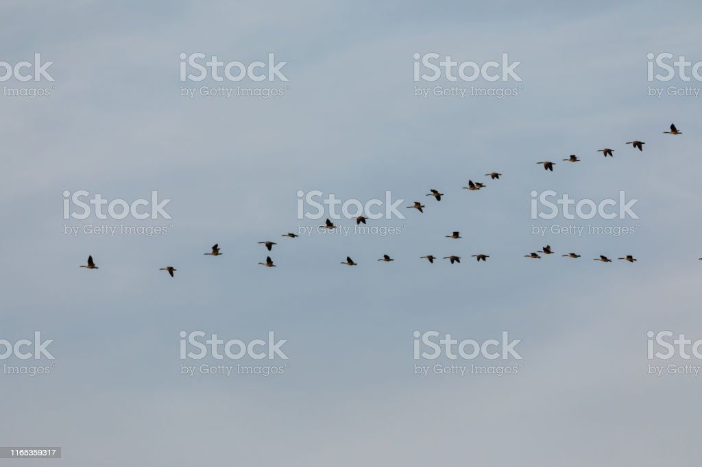 flock of geese on blue sky flying in formation