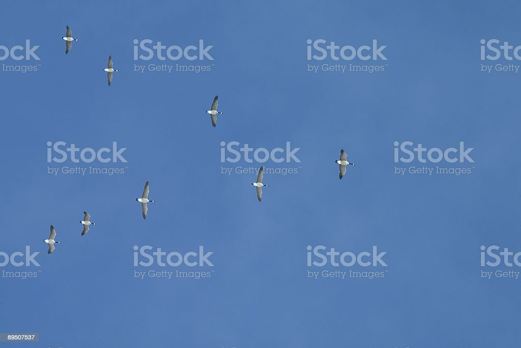 Flock of Geese royalty-free stock photo