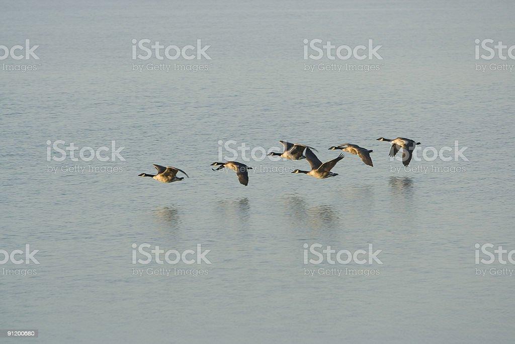 Flock der Gänse – Foto