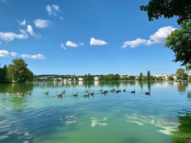 A flock of geese swim by peacefully. stock photo