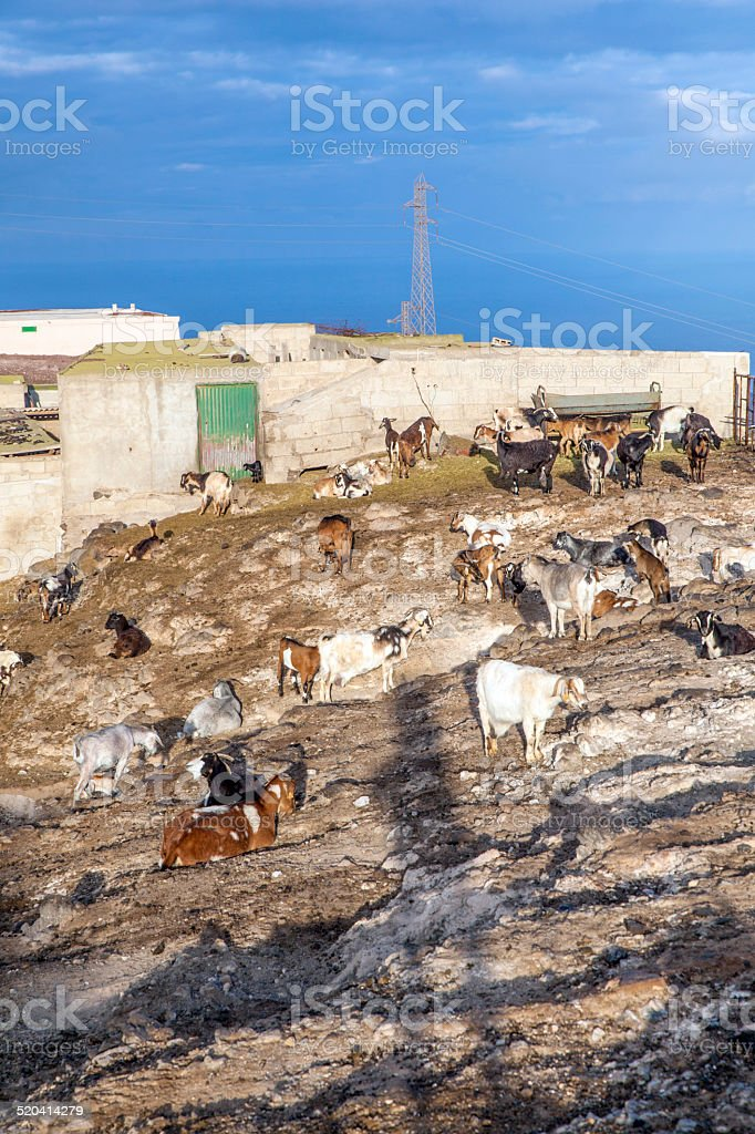 flock of goats in the mountains stock photo