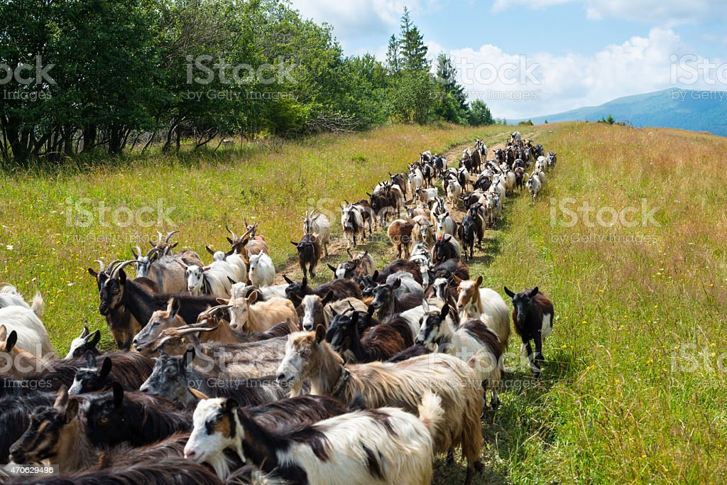 Flock of goats on the dirt road in the Carpathians stock photo