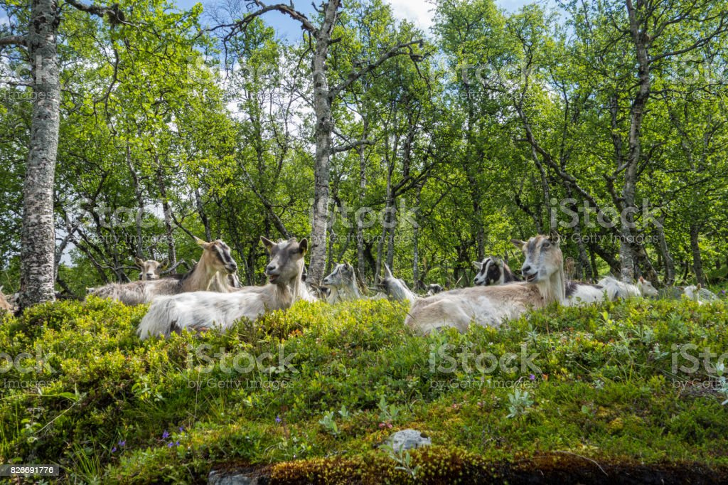 flock of goats stock photo
