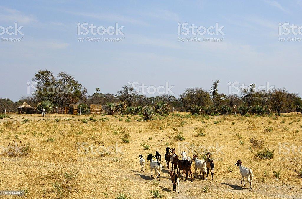 flock von Ziegen, die in den roaming getrockneten savannah – Foto