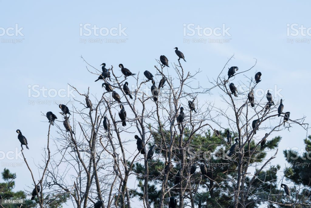 Flock of great cormorants stock photo