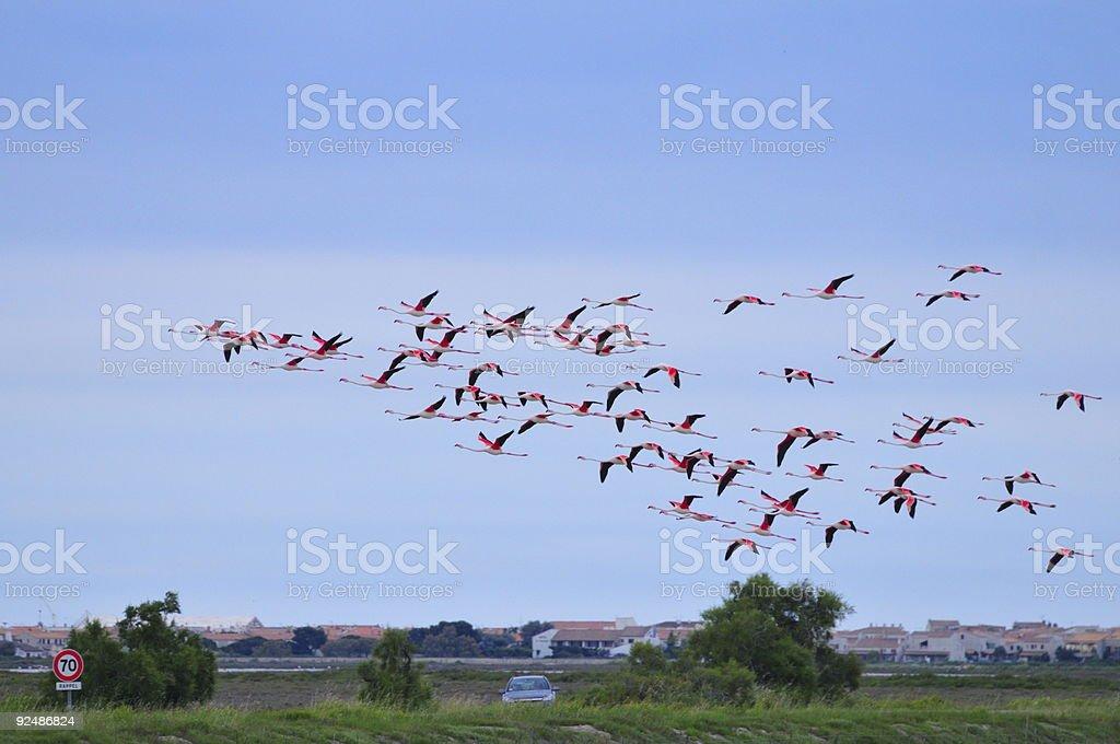 flock of greater flamingoes over Saintes Maries de la Mer royalty-free stock photo