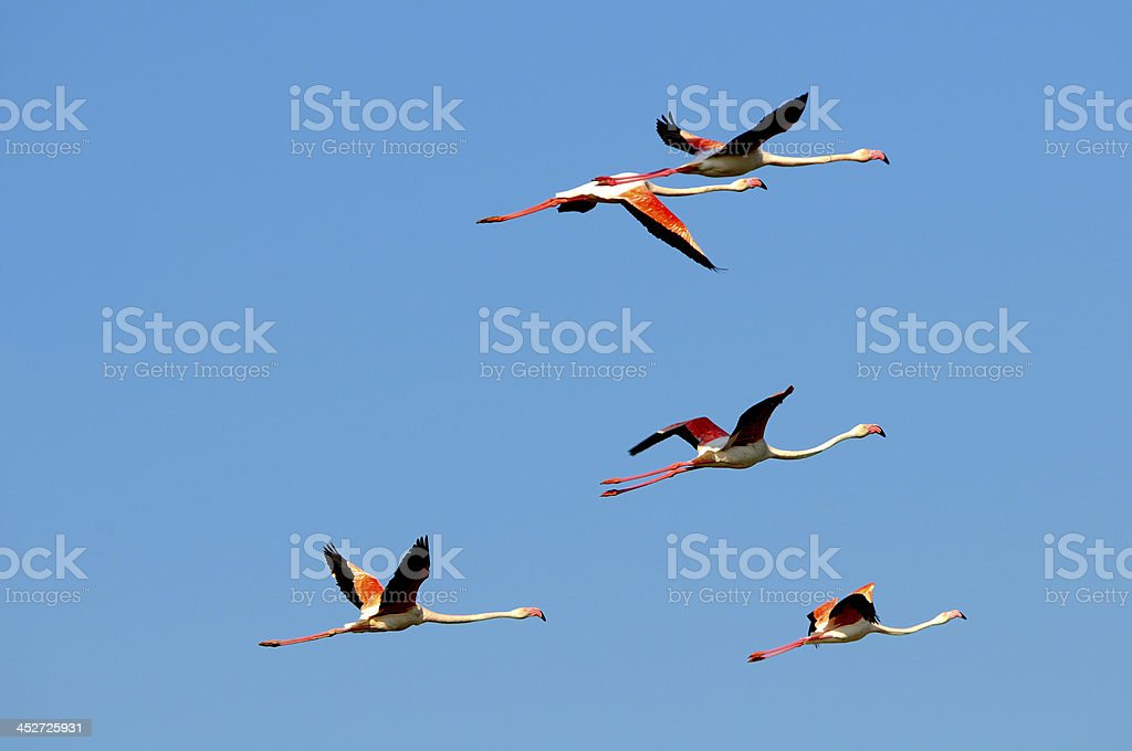 Flock of Greater Flamingo – Foto
