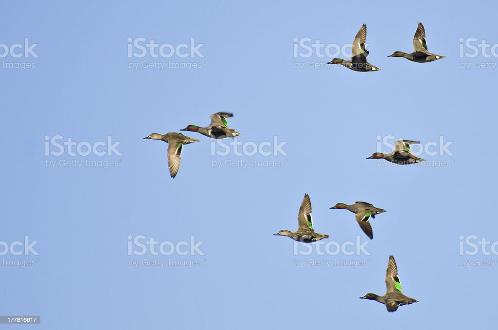 Flock of Green-Winged Teals Flying in a Blue Sky stock photo