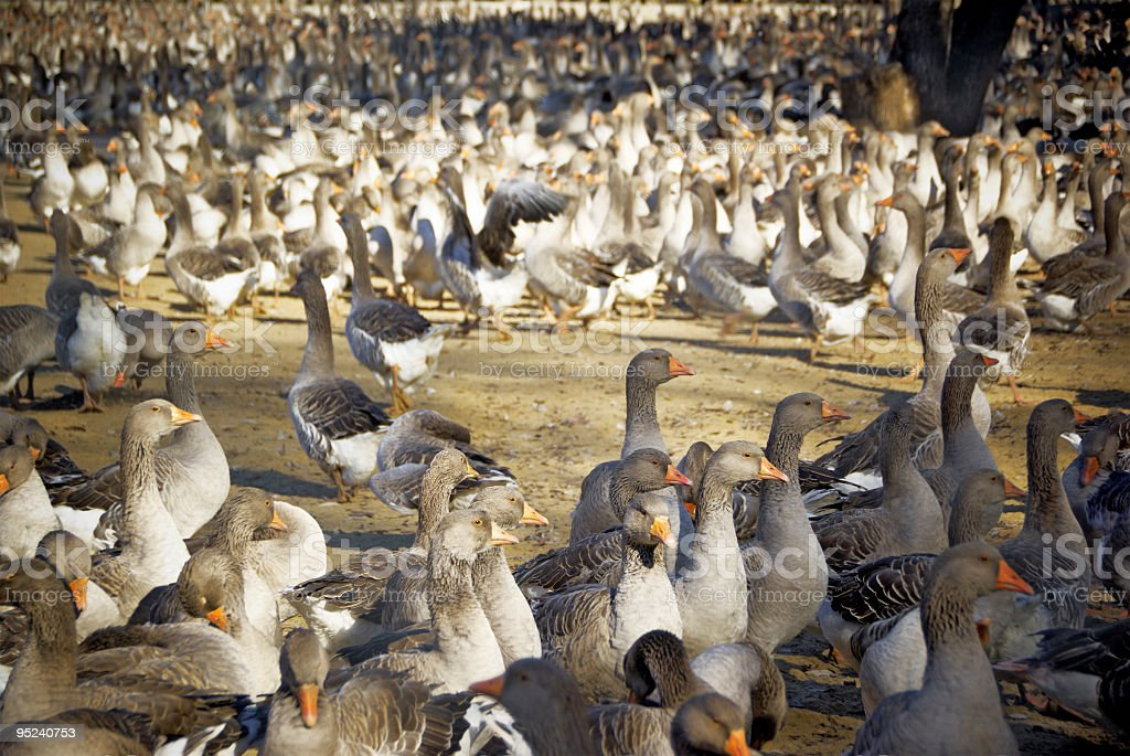 Flock of Grey geese royalty-free stock photo