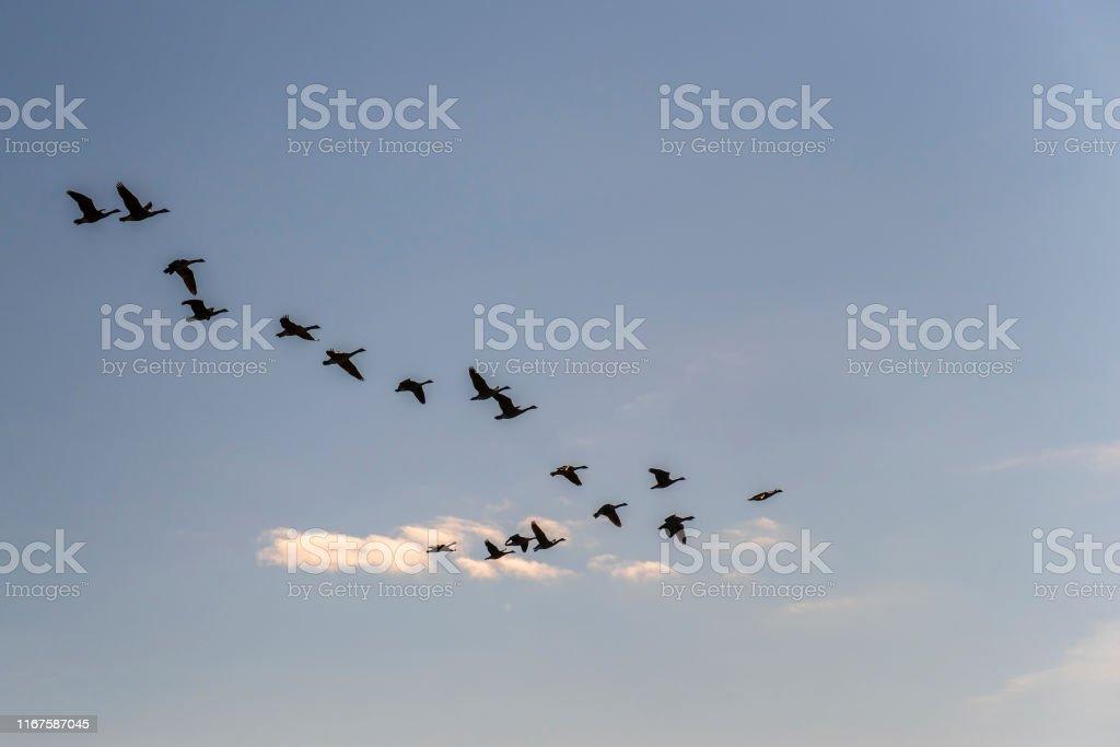 Flock of greylag geese flying in the sky